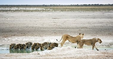 Lioness with cubs at Nebrownii waterhole, Etosha Pan, Namibia